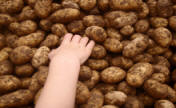 potatoes and childs hand